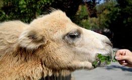 小的骆驼 免版税库存照片
