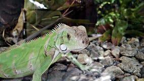 小的鬣鳞蜥 免版税库存照片