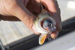 小的鱼 免版税图库摄影