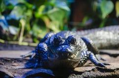 小的鳄鱼 免版税库存图片
