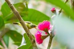 小的鸟吃花蜜 免版税库存照片