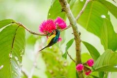 小的鸟吃花蜜 图库摄影