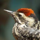 小的鸟啄木鸟 库存照片