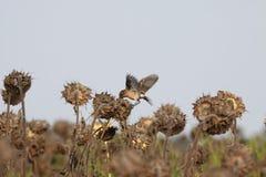 小的鸟啄种子 库存照片
