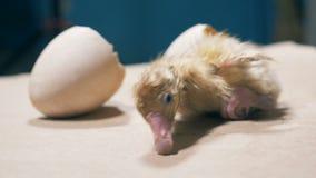 小的鸟在蛋壳,关闭外面  股票录像