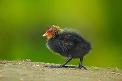 小的鸟 鸭子年轻人  布朗与黄色和红色票据共同的雌红松鸡,波尔菲里奥martinicus的水禽,走在草 g 库存图片