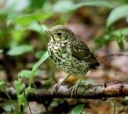 小的鸟黑鹂 免版税图库摄影