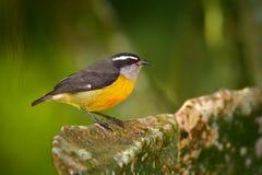 小的鸟Bananaquit,强制flaveola,异乎寻常的热带歌曲鸟坐绿色叶子 在自然的灰色和黄色鸟 库存图片