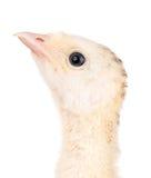 小的鸡火鸡 免版税库存图片