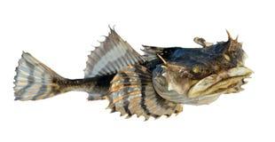 小的鸡鱼科的小鱼14 免版税库存照片