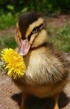 小的鸭子 库存照片