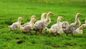 小的鸭子2 免版税库存图片