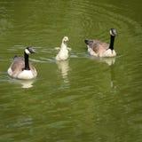 小的鹅在与两个父母的水中 图库摄影