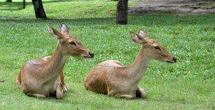 小的鹿 库存图片