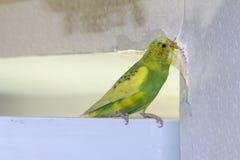 小的黄绿色波浪鹦鹉,坐分支,咬泪花抓墙壁,造成害处裱糊墙纸 免版税图库摄影