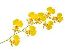 小的黄色兰花 免版税库存照片