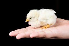 小的黄色婴孩鸡在有黑backgroun的孩子手上 库存照片