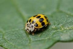 小的黄色瓢虫 库存图片