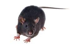小的黑鼠 免版税库存照片