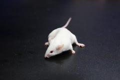 小的鼠标 免版税库存图片