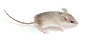小的鼠标 图库摄影