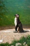 小的黑企鹅在沙子在水和草附近在一个晴天 垂直的框架 免版税库存照片