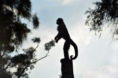 小的猴子剪影 库存图片