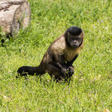 小的猴子吸引了某事在地面上 图库摄影
