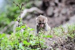 小的猴子在一个密林在印度 免版税库存照片