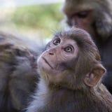 小的猴子在加德满都,尼泊尔 免版税库存照片