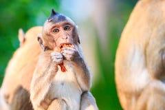 小的猴子(螃蟹吃短尾猿)吃果子 图库摄影