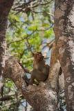 小的猴子(螃蟹吃短尾猿) 免版税图库摄影