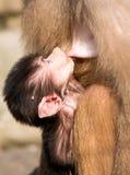 小的猴子Cub 免版税库存图片