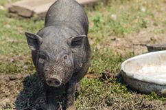 小的黑猪特写镜头,农场 越南猪,画象 免版税图库摄影