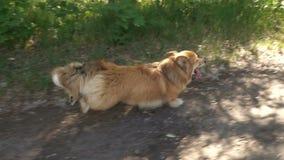 小的滑稽的小狗蓬松小狗 股票录像