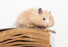 小的滑稽的仓鼠 免版税库存图片