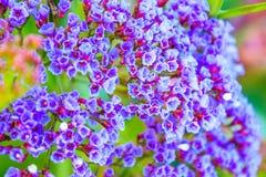小的紫罗兰色花 库存图片