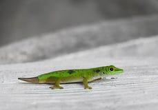 小的绿色壁虎。塞舌尔群岛 库存照片