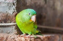 小的绿色爱情鸟 库存照片