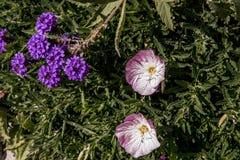 小的紫色花和淡紫色一起开花 免版税库存图片