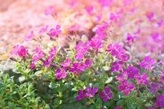 小的紫色花在春天 库存照片
