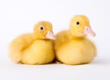 小的黄色鸭子 库存图片