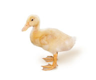 小的黄色鸭子 库存照片