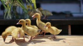 小的黄色滑稽的鸭子和夏天开花花束 影视素材