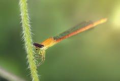 小的蜻蜓在晚上采取休息 库存照片