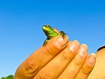 小的绿蜥蜴在手上 图库摄影