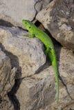 小的绿蜥蜴在石头取暖 免版税库存照片