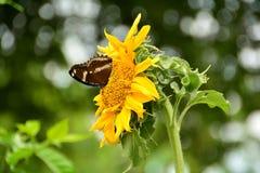 小的蝴蝶他们从波斯菊花吮花蜜 免版税库存图片