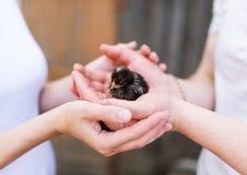 小的黑鸡在人的手上 库存照片