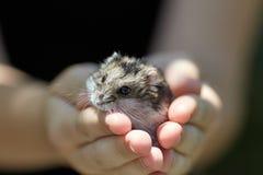 小的仓鼠在人的手上 免版税库存照片